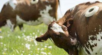 Зачем у коров дырка в боку