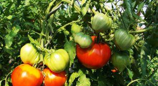 Как подкормить помидоры во время плодоношения народными средствами