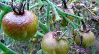Как бороться с фитофторой на помидорах народными средствами