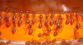 Как вывести муравьев быстро и надолго
