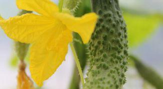 Почему желтеют листья у огурцов и как с этим бороться