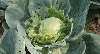 Чем обработать капусту от тли и блошки