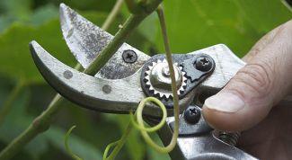 Как делать чеканку винограда летом и в начале осени