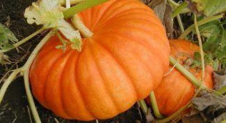 Как правильно убирать и хранить плоды тыквы осенью