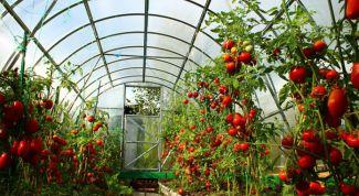 Какие сорта томатов для теплиц самые ранние