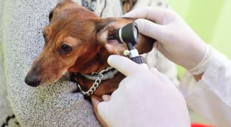 Как ухаживать за ушами собак