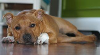 Собака стаффорд: описание породы, характер, особенности ухода