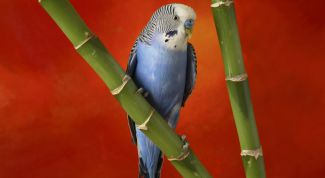 Как научить волнистого попугая говорить отдельные слова и предложения