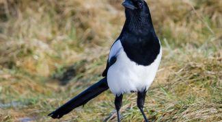 Сорока – птица перелетная или нет?