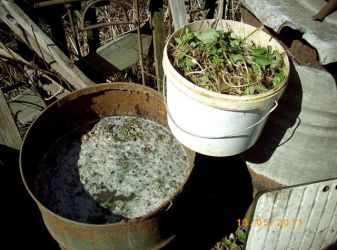 The manufacture and use of infusion of dandelions as fertilizer
