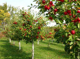 The secrets of good fruit garden