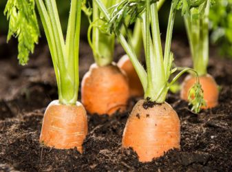 часто нужно поливать морковь