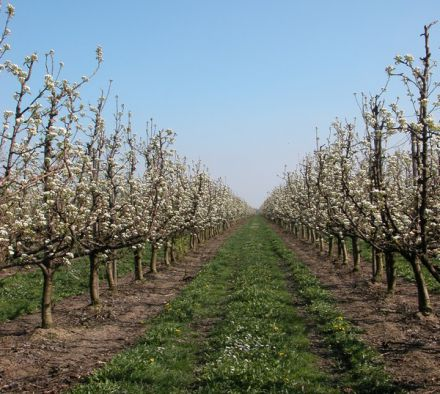 How to transplant Apple trees