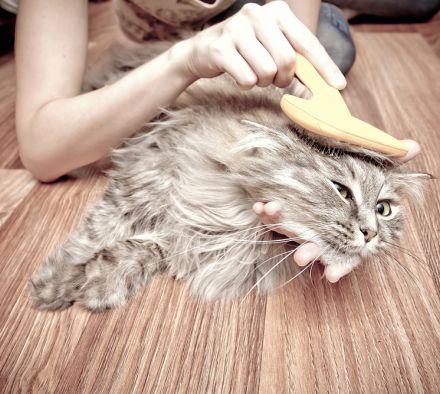 Как правильно ухаживать за шерстью кошек разных пород: мытье и расчесывание