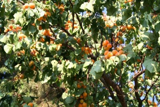 Как обрезать абрикос