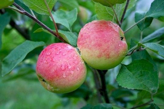 Как вырастить яблоню из косточки