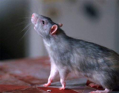 Как отличить крыс от мышей