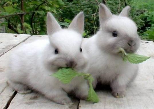 Как вывести блох у кролика