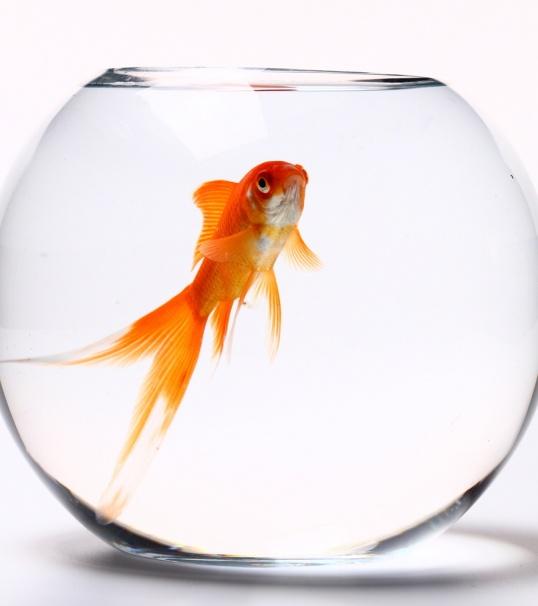 Как отличить рыбок самку от самца
