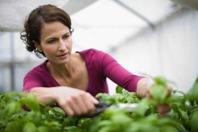 Базилик можно выращивать даже на кухонном окне