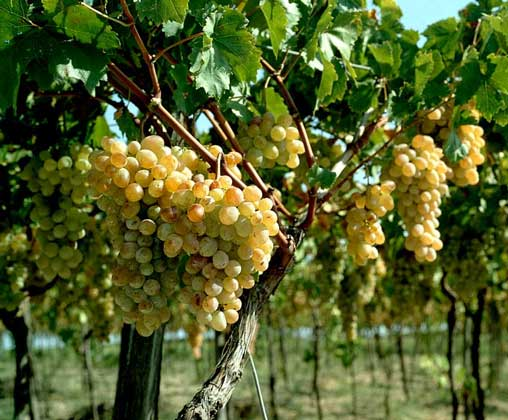 Как развести виноград