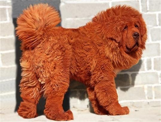 Как сделать пояс из собачьей шерсти Нетрадиционная медицина
