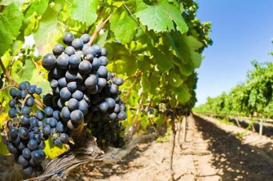 Как правильно ухаживать за виноградом