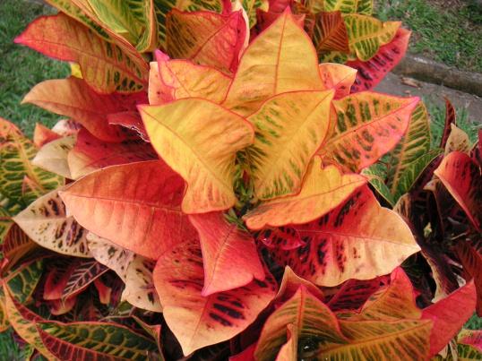 КРОТОН - великолепие цвета на окне Цветоводство