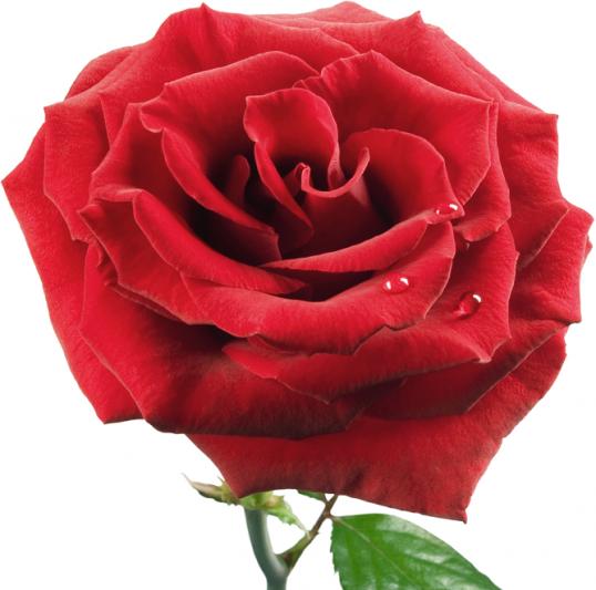 Как нарисовать розу поэтапно Рисование