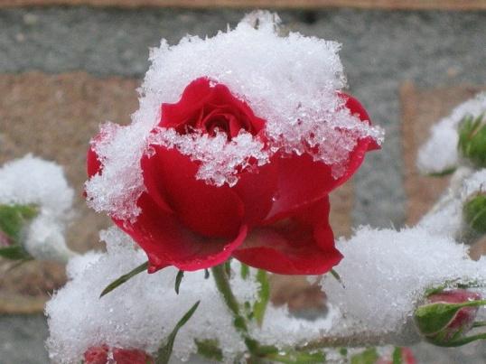 Как подготовить розы к зимнему укрытию Цветоводство