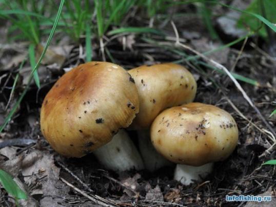 Можно ли жарить грибы бычки