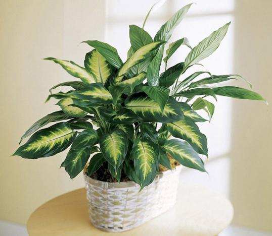 ВРЕДНЫЕ комнатные растения Цветоводство