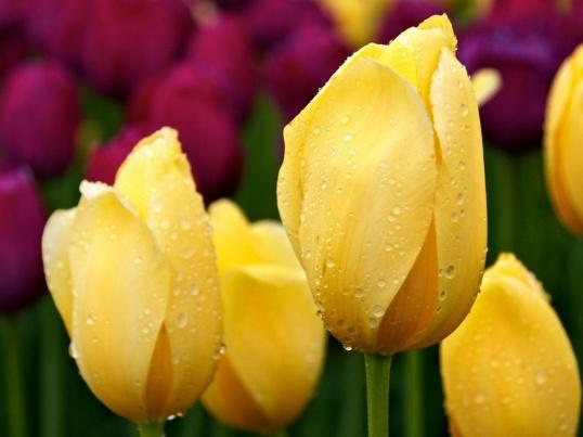 ПОСАДКА тюльпанов осенью Цветоводство