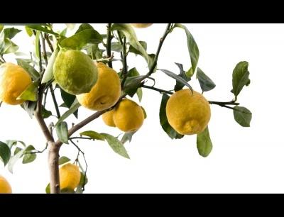 cспособы ухаживания за деревом лимона дома: