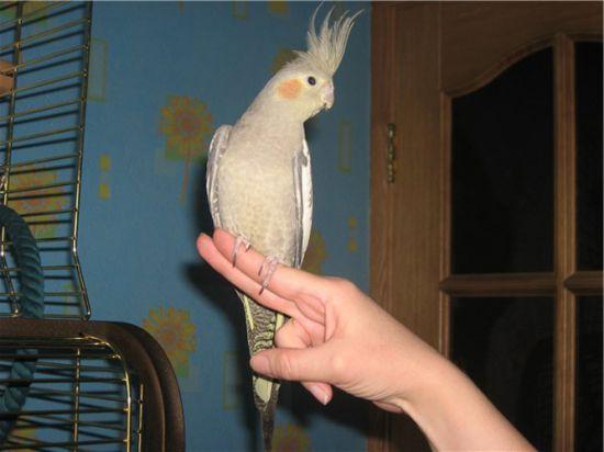 Как сделать чтобы попугай сел на руку