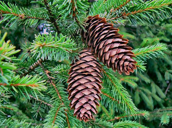 Отличие пихты от елки
