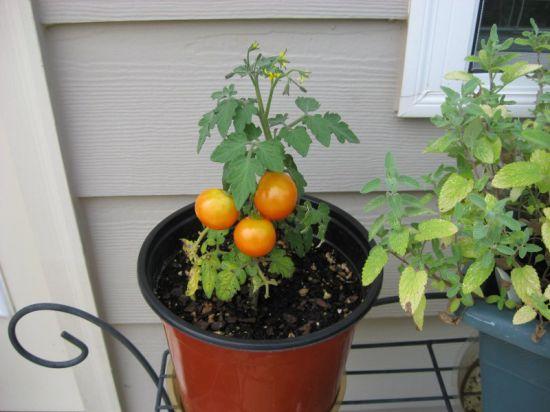 Зимнее выращивание томатов 18