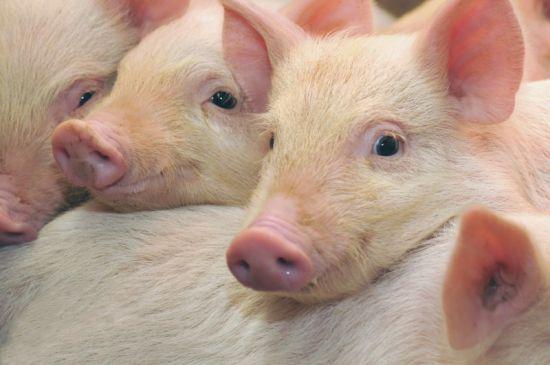 почему свинину нельзя есть при похудении