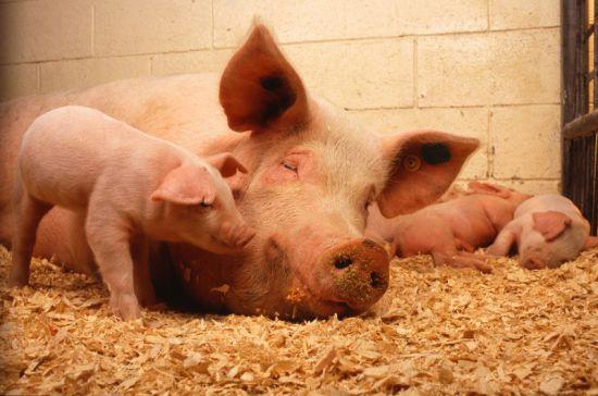Свинья беременная во сне 22