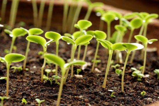 Как сажать семена на рассаду цинии 14