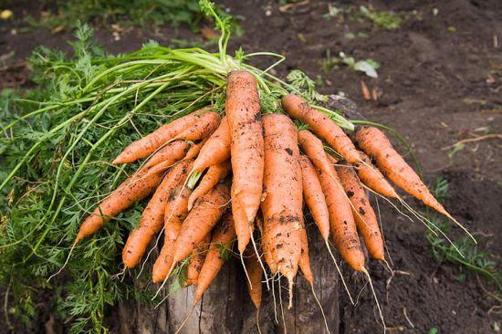 пастернак как вырастить на огороде