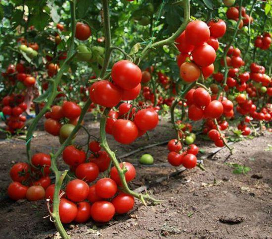 Помидоры парадайз выращивание 74