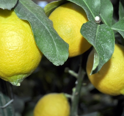 How to care for lemon at home