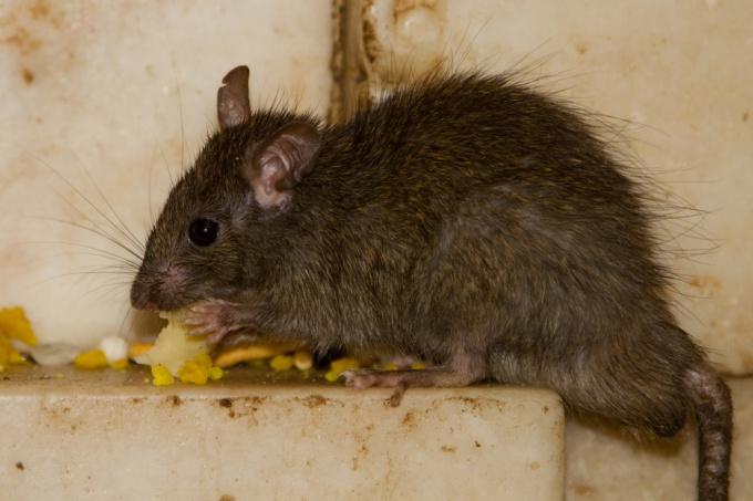сделать чтобы вывести крыс