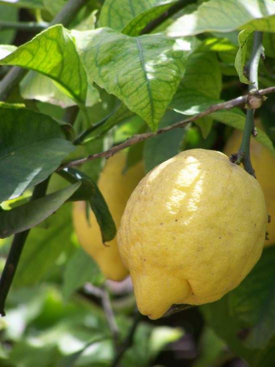 Лимон можно вырастить дома