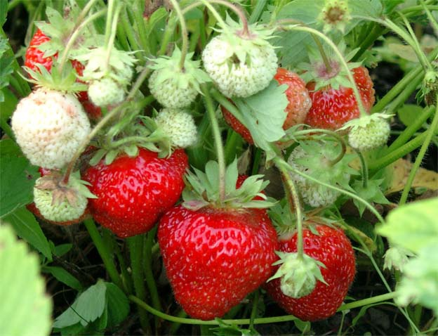 How to plant strawberries