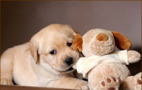 Как делать прививки щенкам