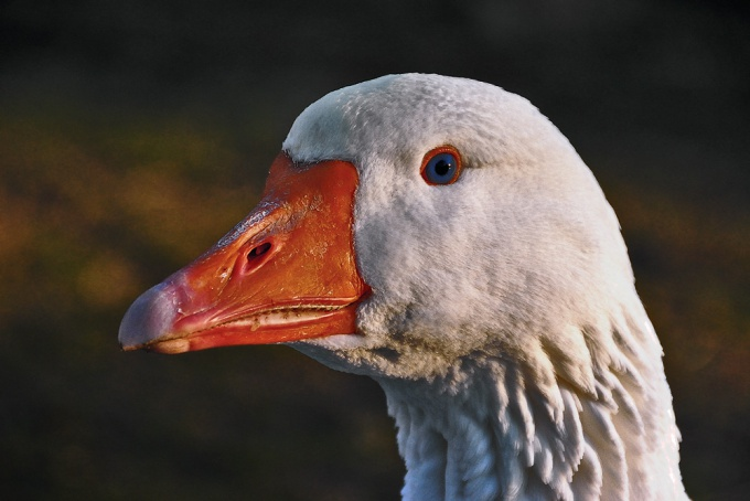How to determine the sex of geese