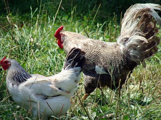 как отличить петушка от курицы в раннем возрасте?