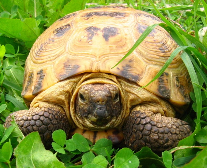 How to determine the age of tortoises